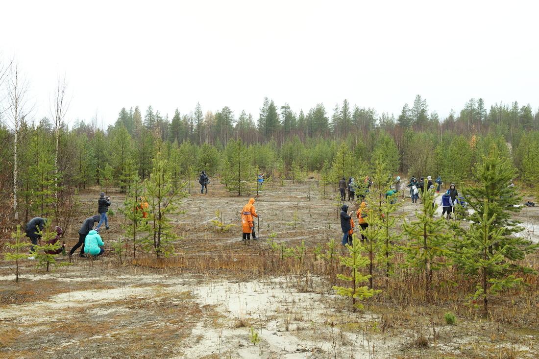 Хвойные вечнозеленые деревца высадили влесном массиве подороге, ведущей ваэропорт