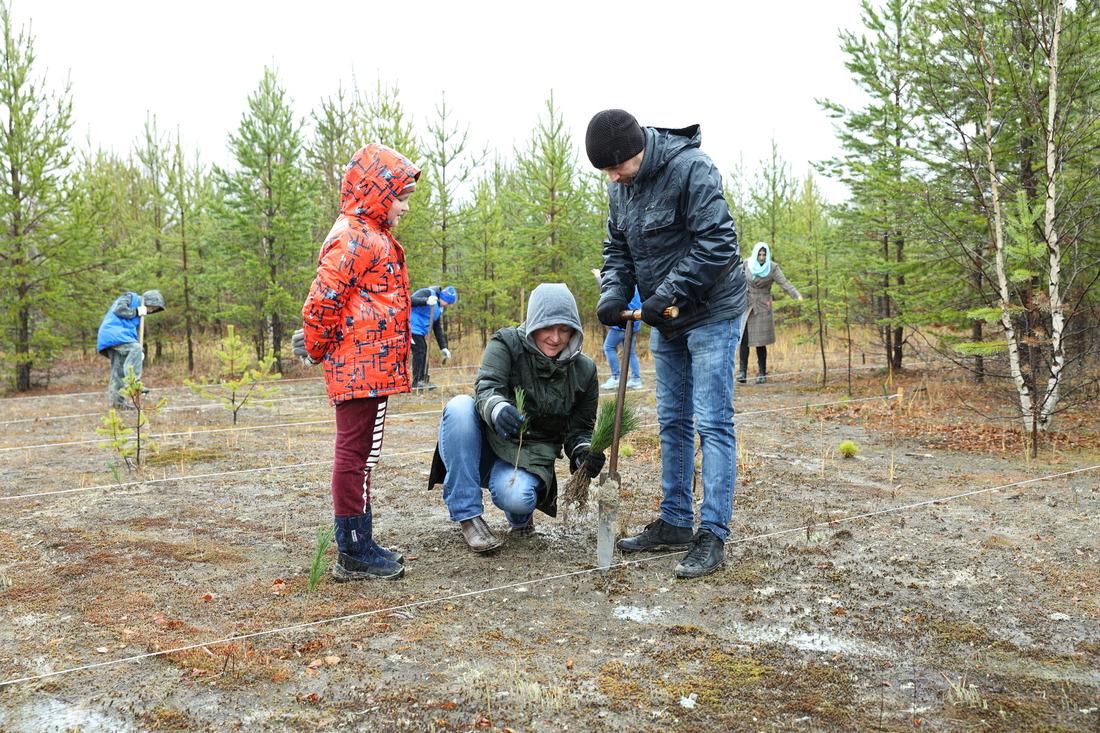 ДляНоябрьска вэтом году было заказано порядка 1000 саженцев кедра